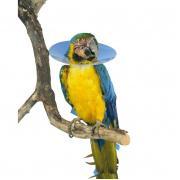 Védőgallér papagáj 80 mm